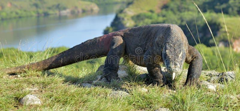 Komodoensis di varano del drago di Komodo con lo Sn biforcato della lingua fotografie stock libere da diritti