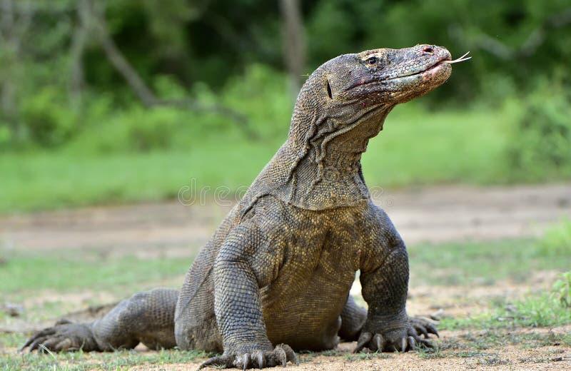 Komodoensis di varano del drago di Komodo con lo Sn biforcato della lingua fotografie stock
