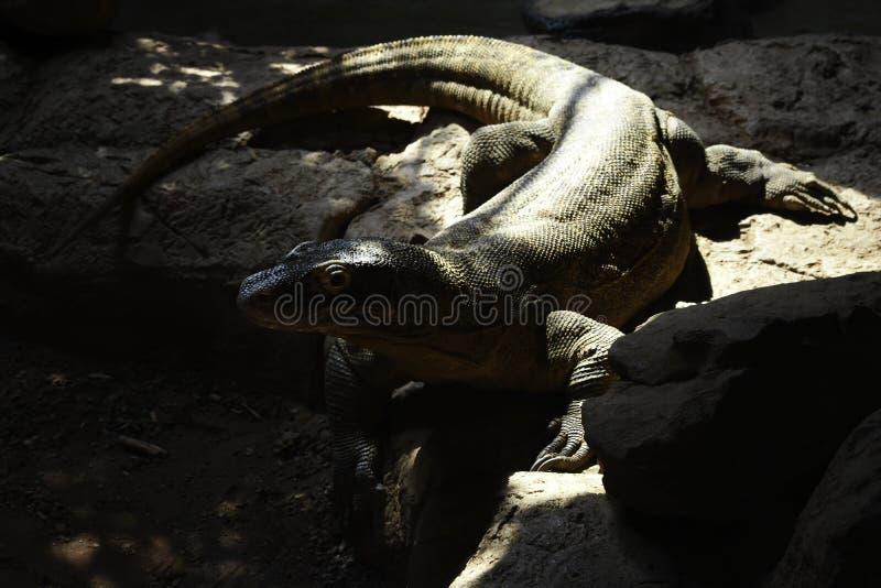 Komodoensis do varanus de Komodo Dragon Monitor em uma rocha imagens de stock royalty free