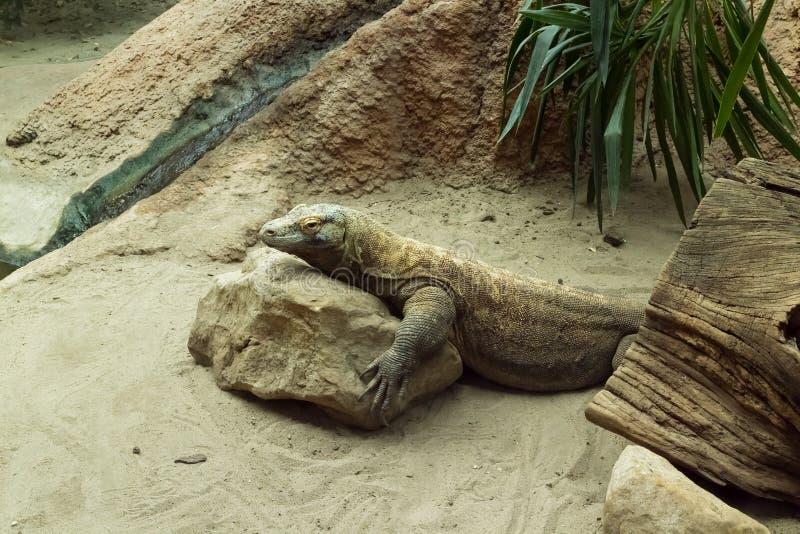 Komodoensis do varanus do dragão de Komodo que descansa na rocha foto de stock royalty free