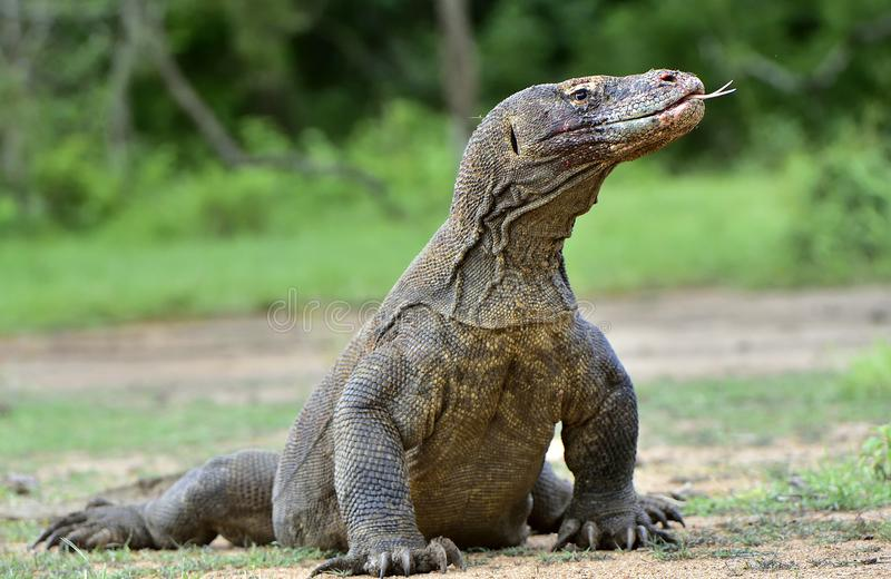 Komodoensis Varanus δράκων Komodo με καρφωμένο με τη διχάλα sn γλωσσών στοκ φωτογραφίες