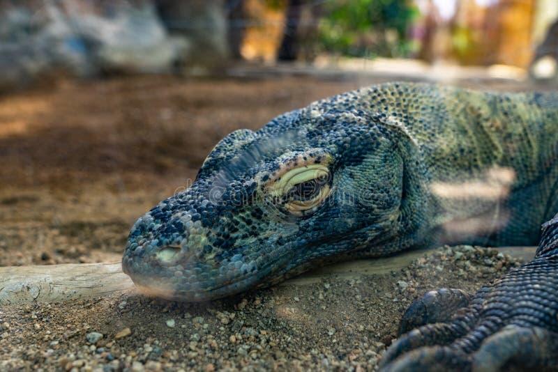 Komodoensis Varanus дракона Komodo в зоопарке Барселоне стоковые фото