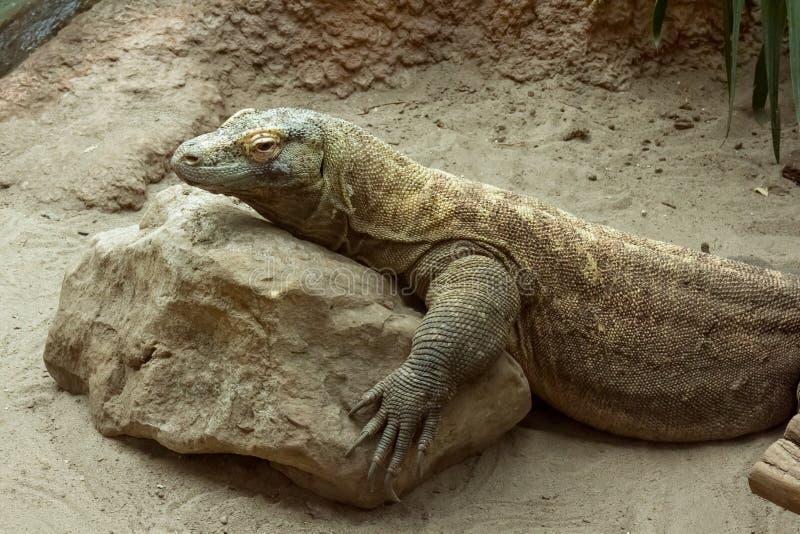 Komodoensisen för varanusen för den Komodo draken som vilar på, vaggar royaltyfri foto