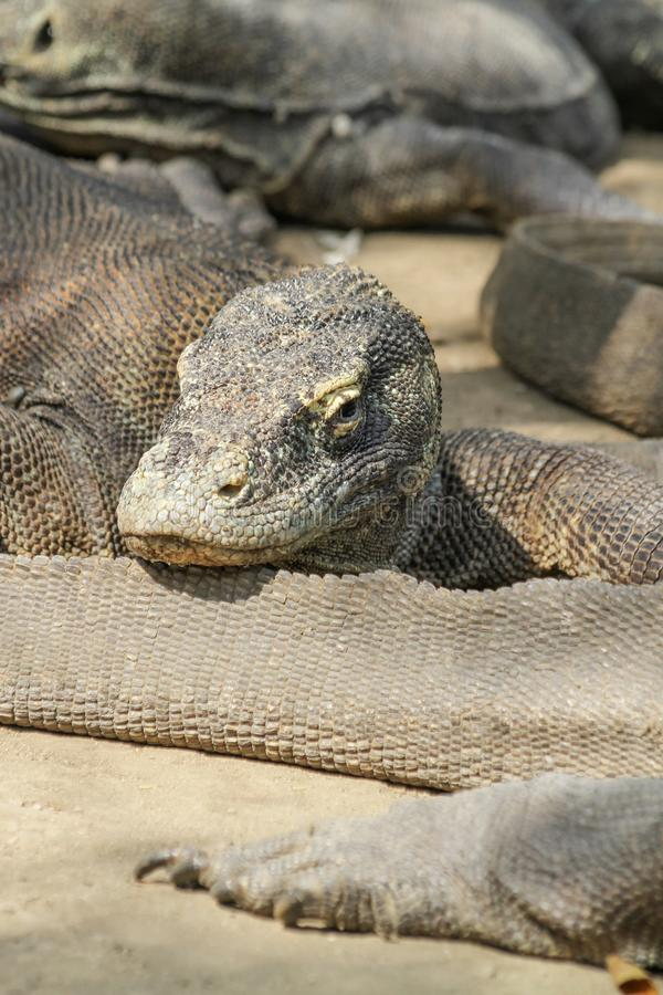 Komodowaran in Rinca-Insel, Indonesien stockfoto