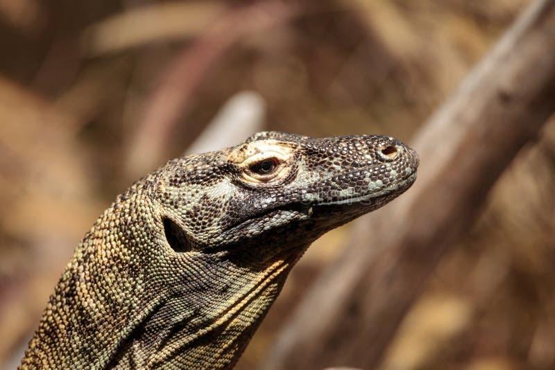 Komodowaran, Varanus komodoensis stockfotos