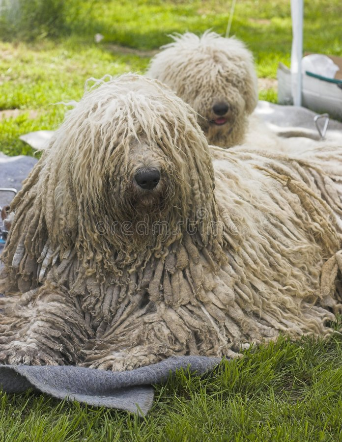 Download Komondor image stock. Image du couleur, coloré, mignon - 732909