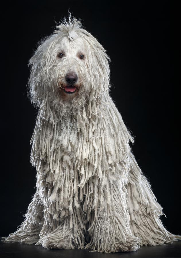 Komondor Dog, Hungarian Shepherd on Black Background. Komondor Dog, Hungarian Shepherd on Isolated Black Background in studio royalty free stock images