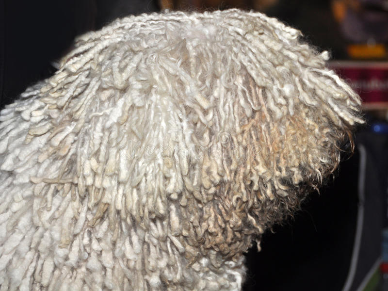 Download Komondor dog profile stock photo. Image of rack, offspring - 39513250