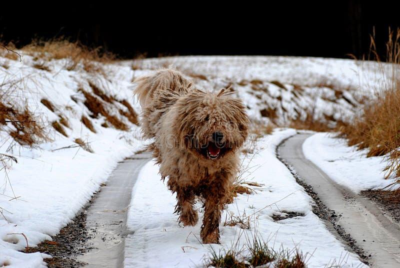 Komondor ungersk fårhund arkivbilder