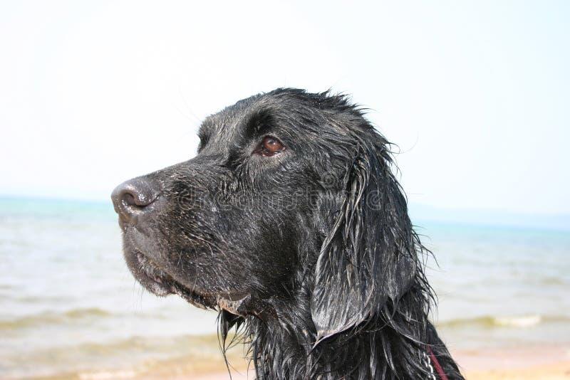 kompishundvatten arkivfoto