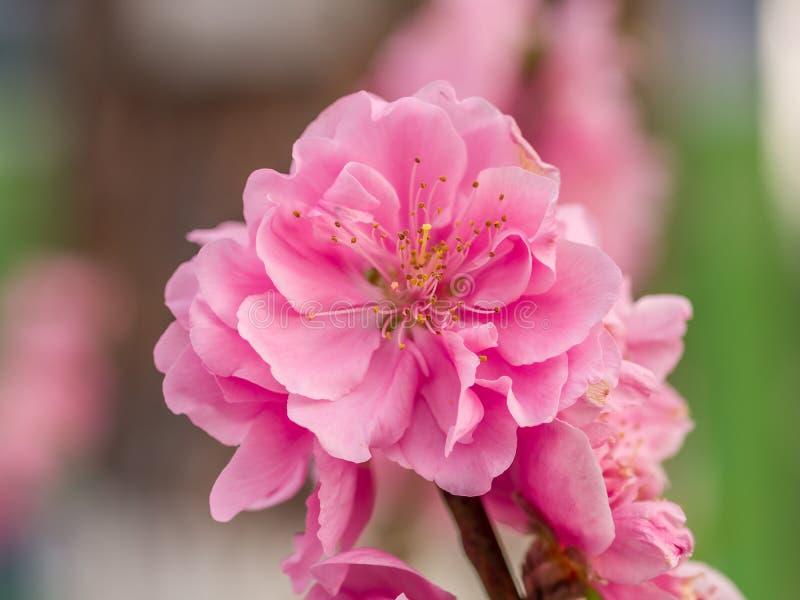 Komplexe Klappenpfirsichblüten im Frühjahr lizenzfreie stockfotos