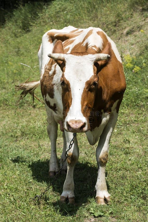 Kon är betande i en äng Hundratals flugor och bromsfluga omkring royaltyfri bild