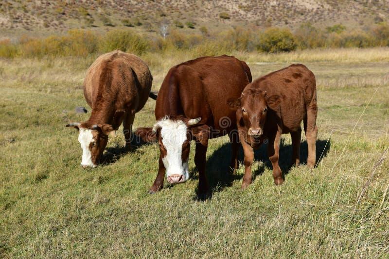Kon äter gräs på grässlätten i höst royaltyfria bilder