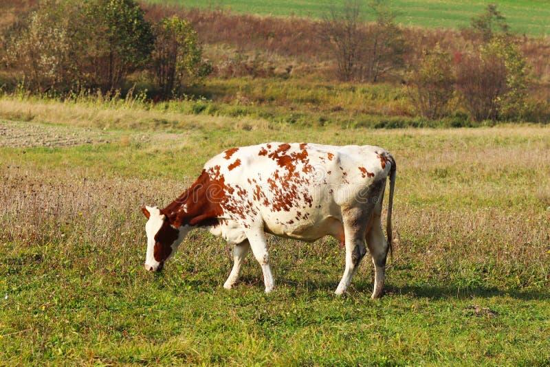 Kon av denröda dräkten betar bara på en grön äng Saftigt gräs i betar Växande mejerinötkreatur nytt sunt royaltyfri foto