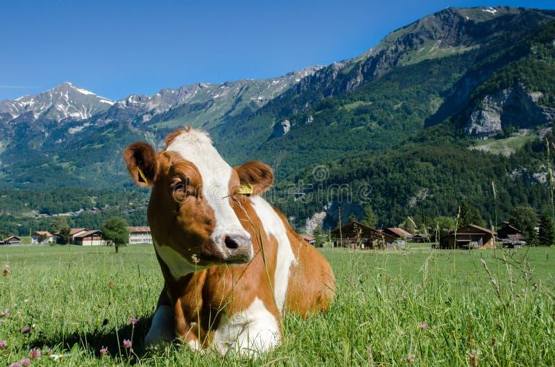 Kon för den bruna schweizaren ligger på grön äng med alpin bergbackg arkivbild