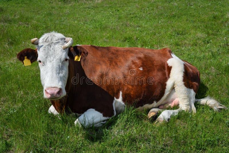Kon på en vårlantgård betar Den mycket roliga svartvita kon ligger på gräset och ser kameran djurlantgårdliggande sommar för mång royaltyfria foton