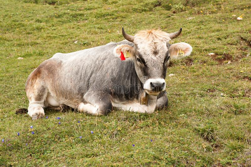 Kon på ett berg betar i fjällängarna av Schweiz royaltyfri fotografi