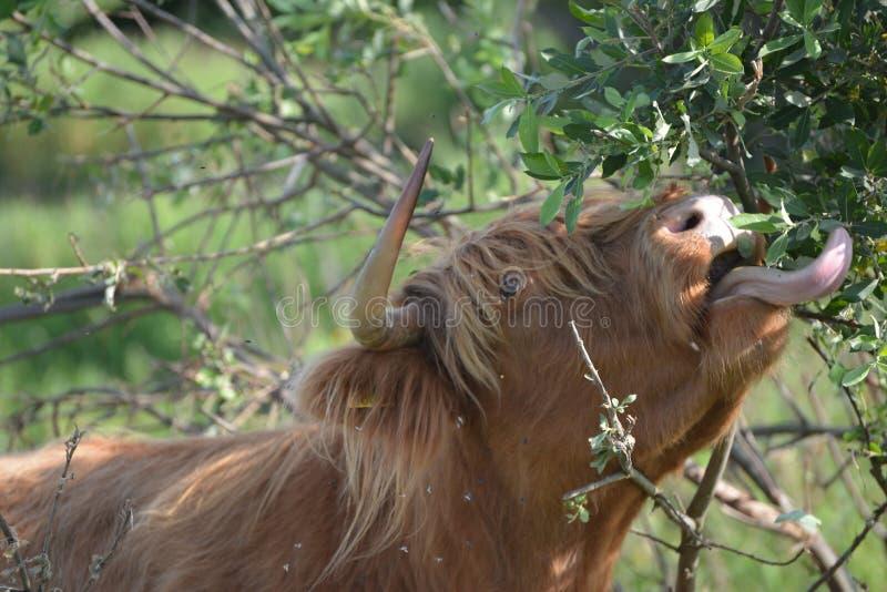 Kon på gräs äter mer än gräs fotografering för bildbyråer