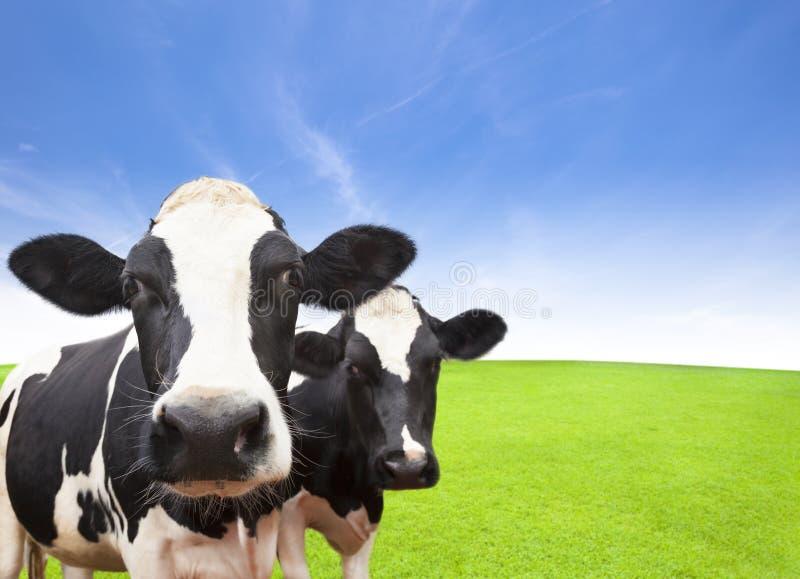 Kon på grönt gräs sätter in royaltyfri fotografi