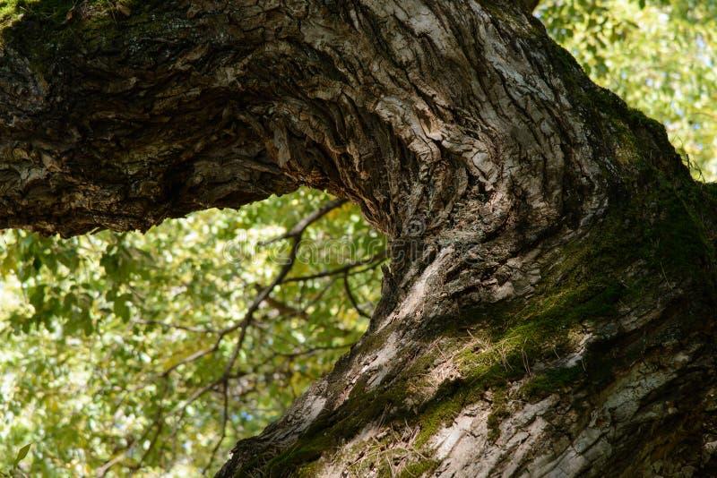 Konar stary wierzbowy drzewo obrazy royalty free