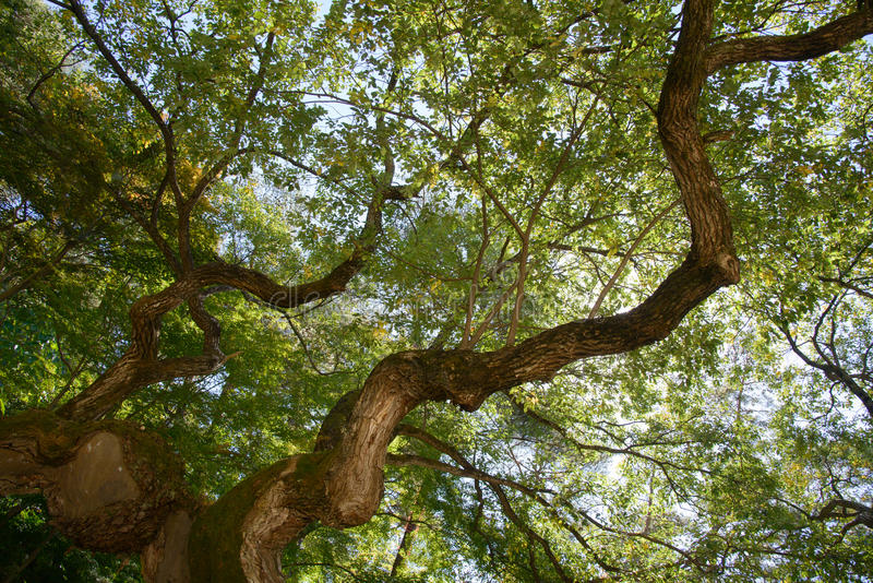 Konar stary wierzbowy drzewo zdjęcia royalty free