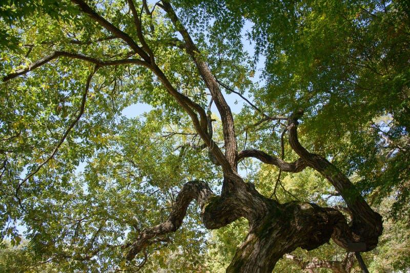 Konar stary wierzbowy drzewo zdjęcie royalty free