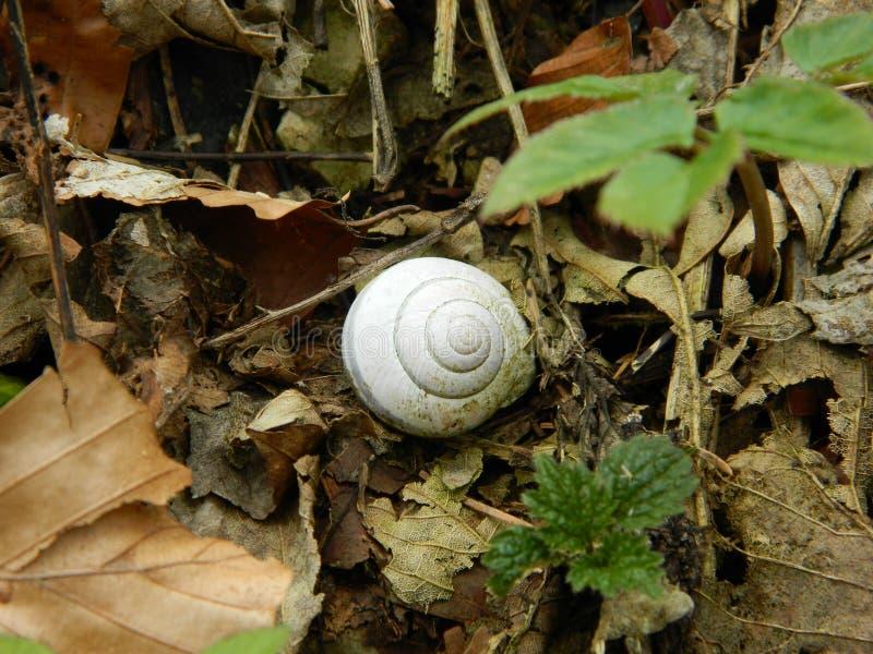 Koncentriskt skal av en snigel i skogen fotografering för bildbyråer