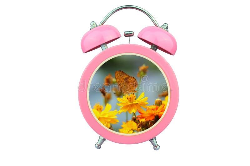 Konceptualny sztuka czas relaksować: żółci kosmosy kwitną i motyl wśród różowego budzika odizolowywającego na białym tle obrazy royalty free