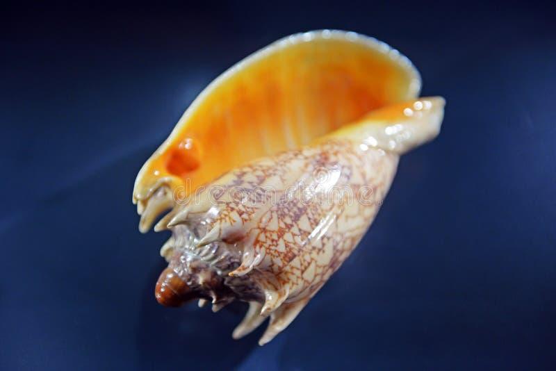Koncha od głębokiego oceanu zdjęcie stock