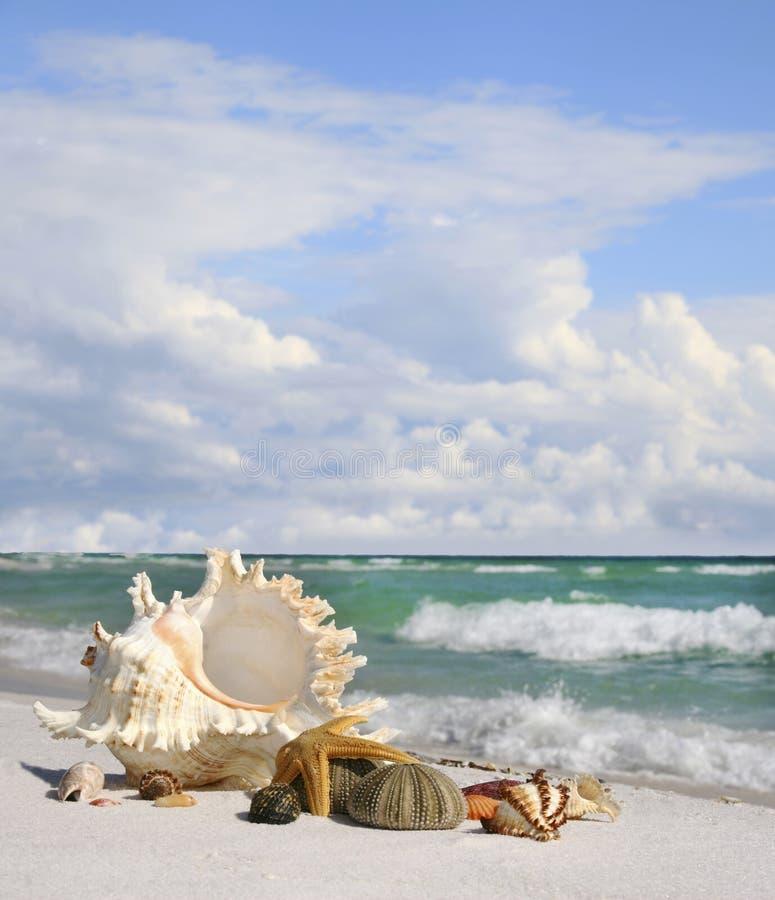 Koncha Shell, Seastar i Denny czesak na Pięknej Białej piasek plaży, obrazy stock