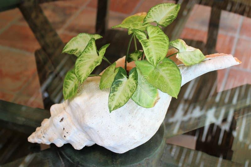 Konchy skorupy plantator z dieffenbachia zdjęcie stock