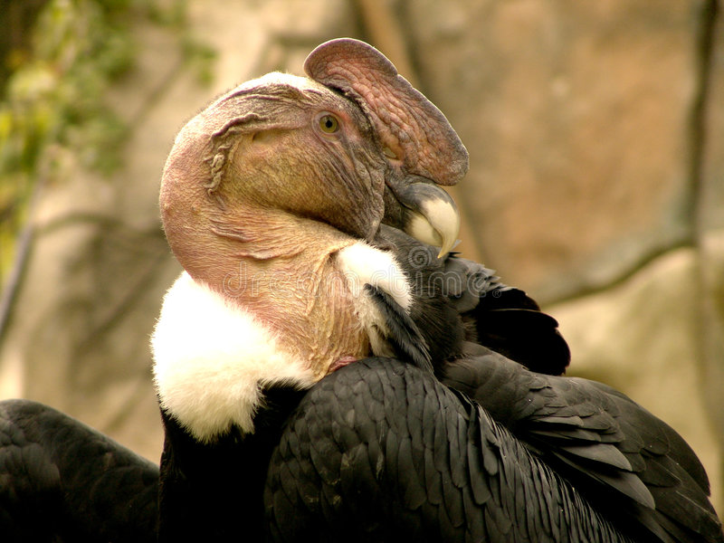 kondor andyjski obrazy stock