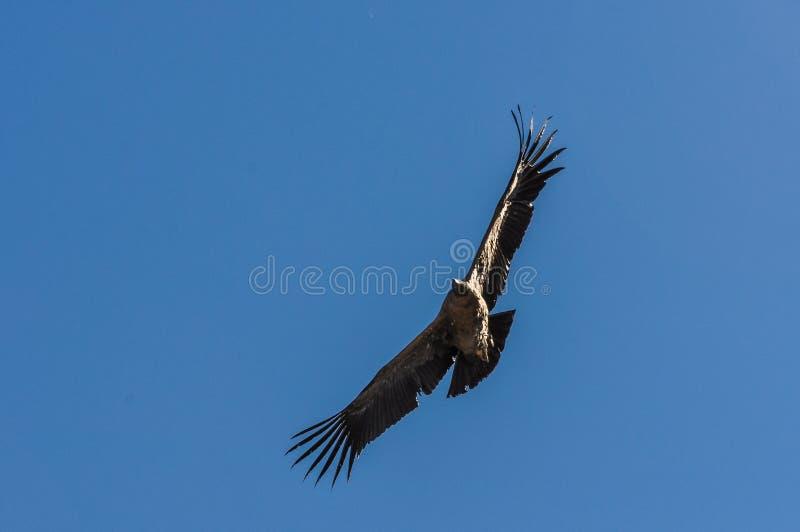 Kondor lata nad Colca jarem, Peru zdjęcia stock