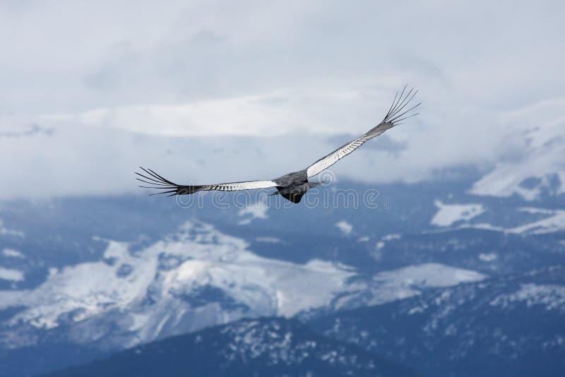 Kondor steigt über Bariloche, Argentinien an lizenzfreie stockfotos