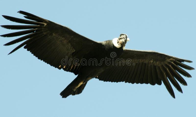 Kondora latanie w niebieskim niebie obraz royalty free
