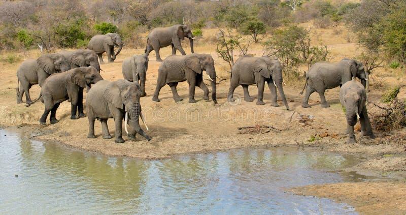 Konferens för tjurelefant, Balule reserv, Sydafrika royaltyfria foton