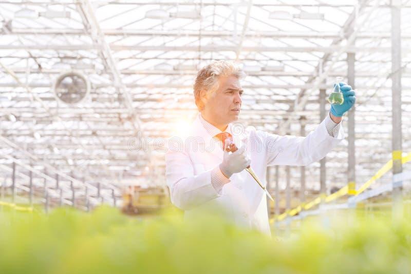 Konfidenzmännische Biochemikalienproben, die Erlenmeyerkolben untersuchen, während sie eine Pipette im Gewächshaus halten stockbild