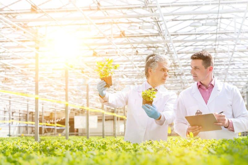 Konfidenzreife männliche Biochemikalien, die während des Auftretens im Gewächshaus konische Erlenmeyerkolben untersuchen stockfotos