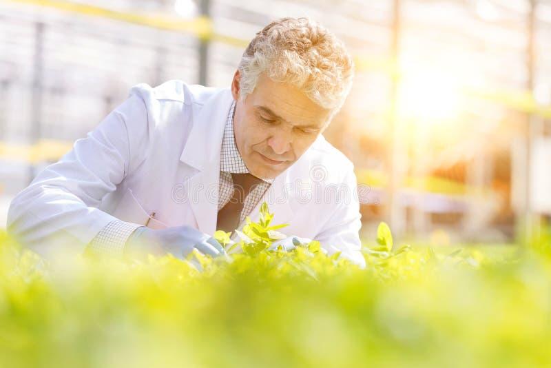 Konfidenzwilliger männlicher Botaniker, der Kräuter in der Pflanzenzüchtung untersucht lizenzfreie stockbilder