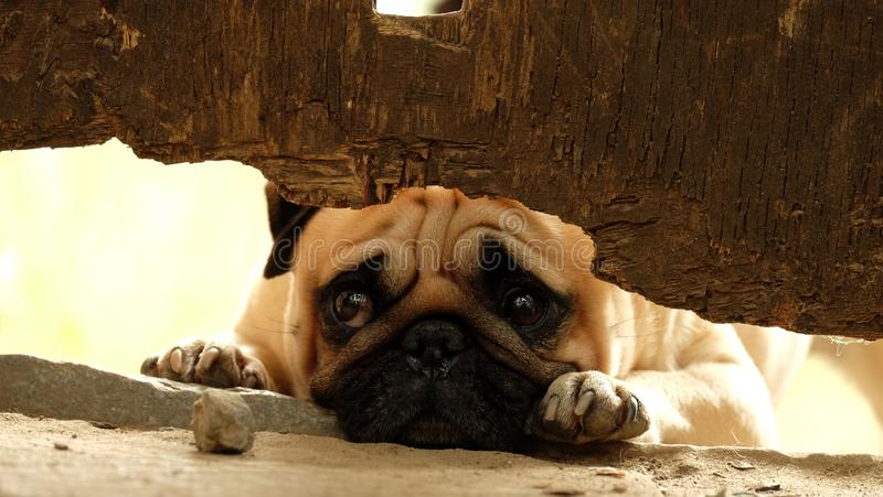 Konfuciy looking from fence. Pug Konfuciy looking from fence stock photography