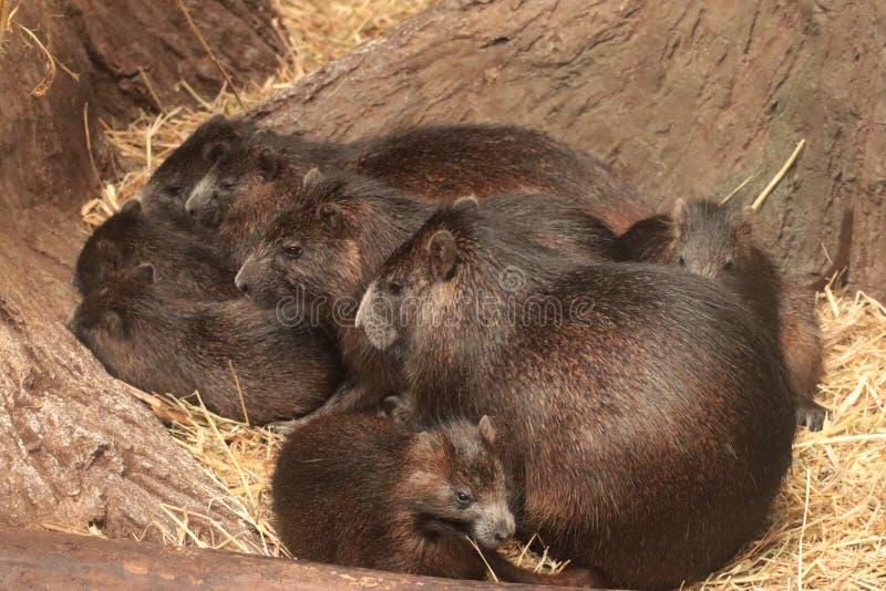 Konga di Hutia, gruppo della famiglia del Capromyidae fotografie stock libere da diritti