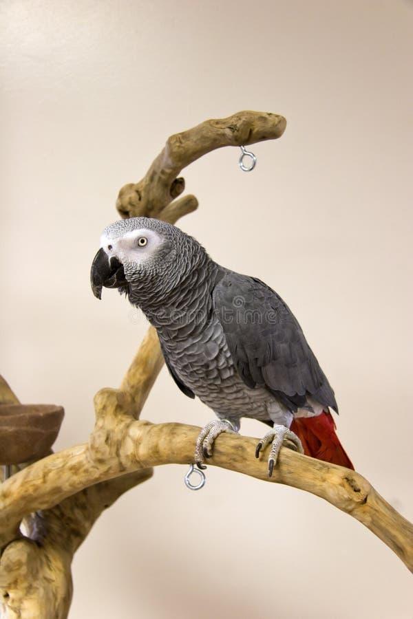 Afrykańska Popielata papuga obraz royalty free