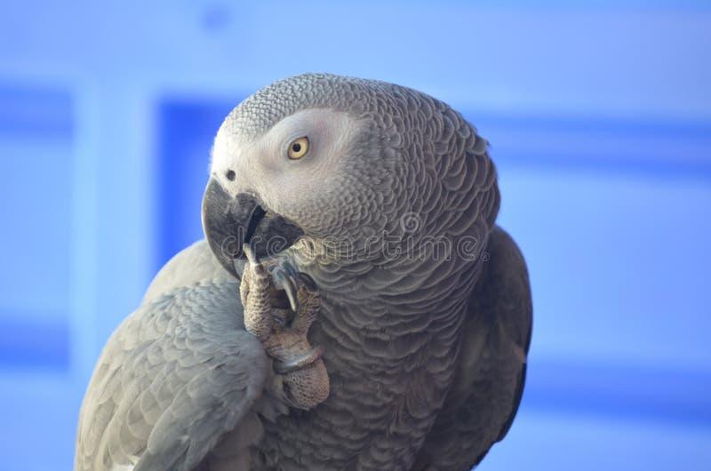 Kongoflodenafrikan Grey Parrot Biting Toes arkivfoton