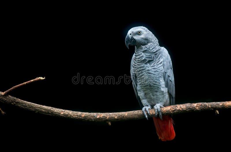 Kongoflodenafrikan Grey Parrot på filial i mörk bakgrund arkivbilder
