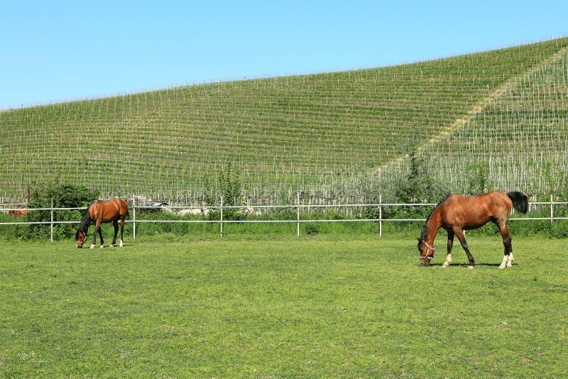 koni Italy paśnik Piedmont zdjęcia royalty free