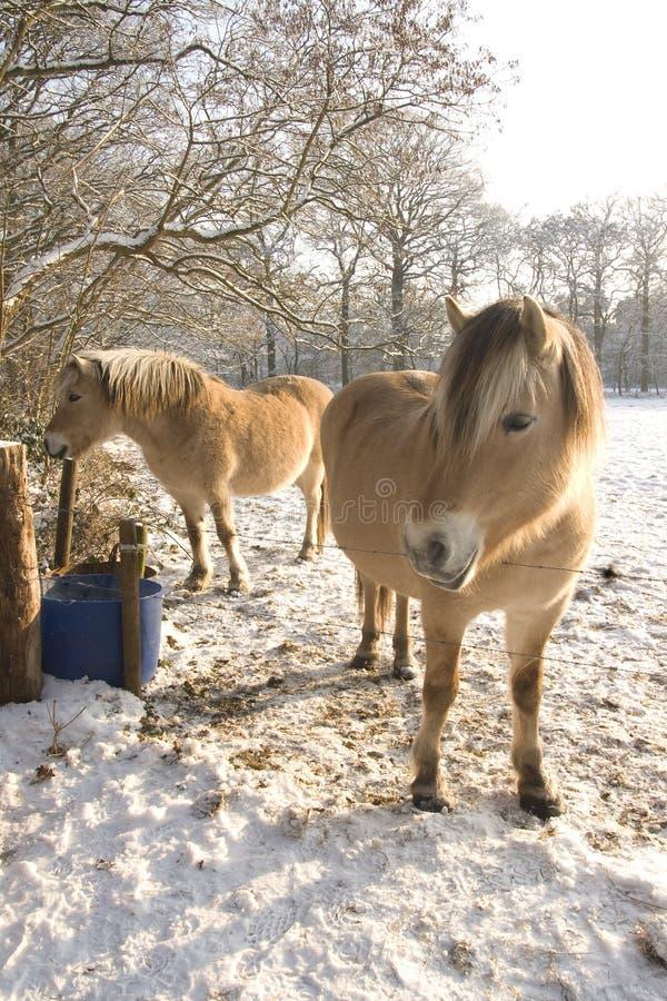 konia śnieg zdjęcie royalty free