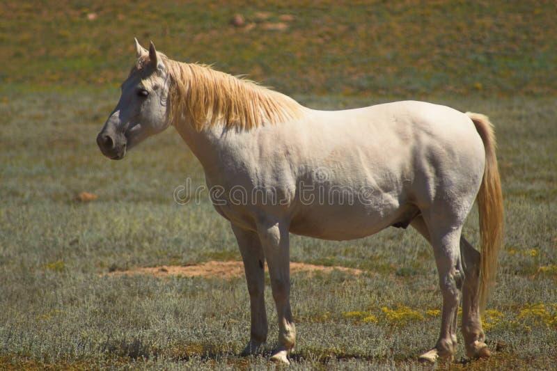 konia appaloosa srebra obrazy royalty free