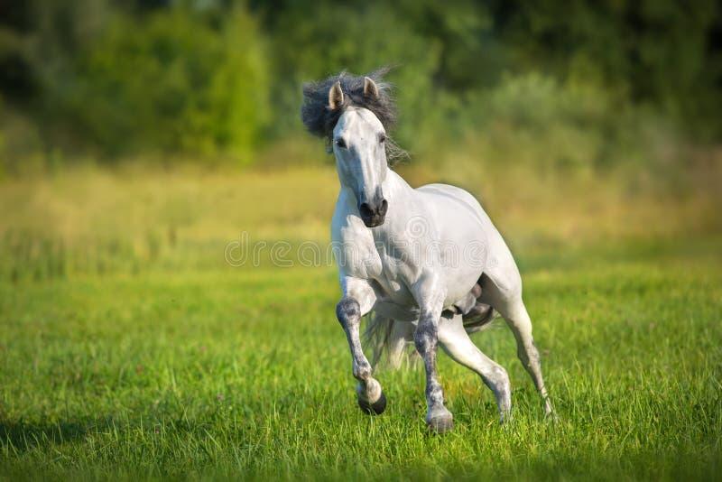 Konia bieg uwalnia wewnątrz gren lato trawy obraz royalty free