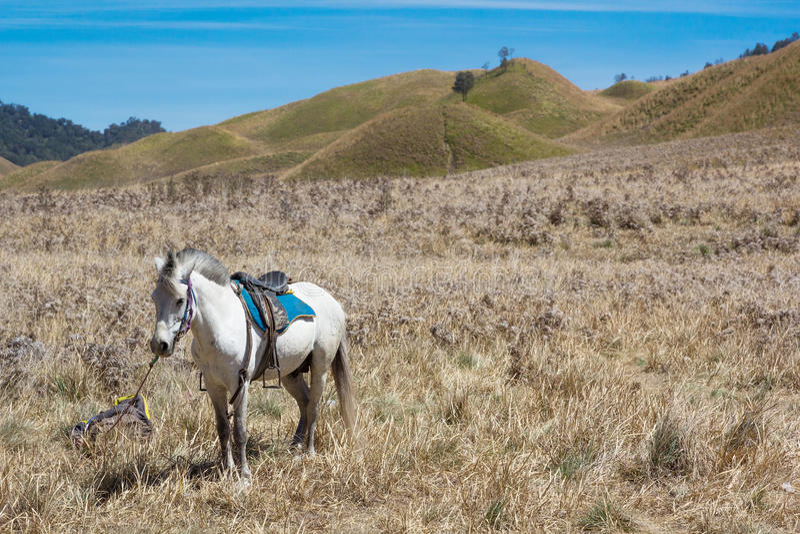 Konia czynsz dla usługowego turysty przy Sawannowymi góry Bromo volcanoes obraz stock