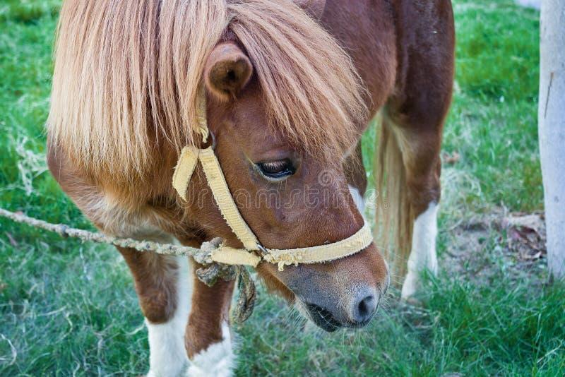 Konia pastwiskowy zakończenie pastwiskowy obraz stock
